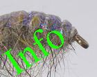 INFO über Tungsten Bachflohkrebse. Bitte zuerst ansehen